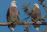 Eagle Live Cams in USA